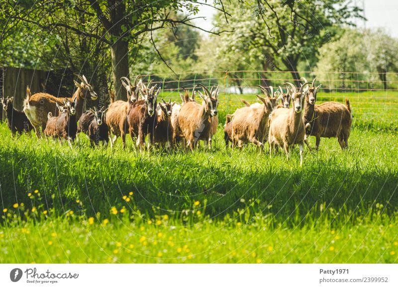 Thüringer Waldziegen Natur Landschaft Wiese Weide Tier Haustier Nutztier Ziegen Ziegenherde Tiergruppe Herde beobachten Fressen stehen Idylle Zusammenhalt
