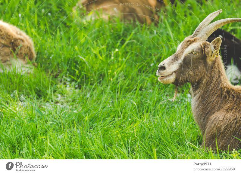 Thüringer Waldziege Natur Landschaft Wiese Weide Tier Haustier Nutztier Ziegen 1 liegen Blick Erholung Idylle Farbfoto Außenaufnahme Menschenleer