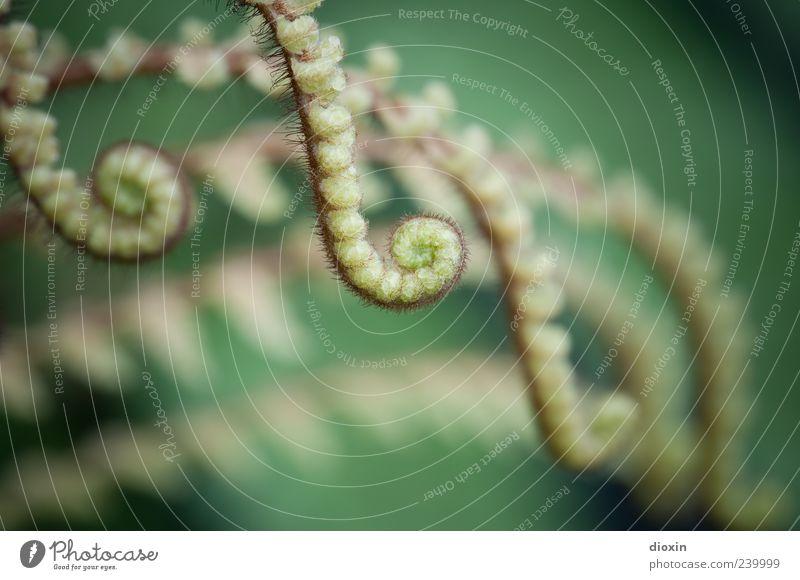 Tentakel Natur Pflanze Farn Blatt Grünpflanze Wildpflanze Sporenpflanze Wachstum natürlich grün entfalten Spirale Farbfoto Nahaufnahme Makroaufnahme
