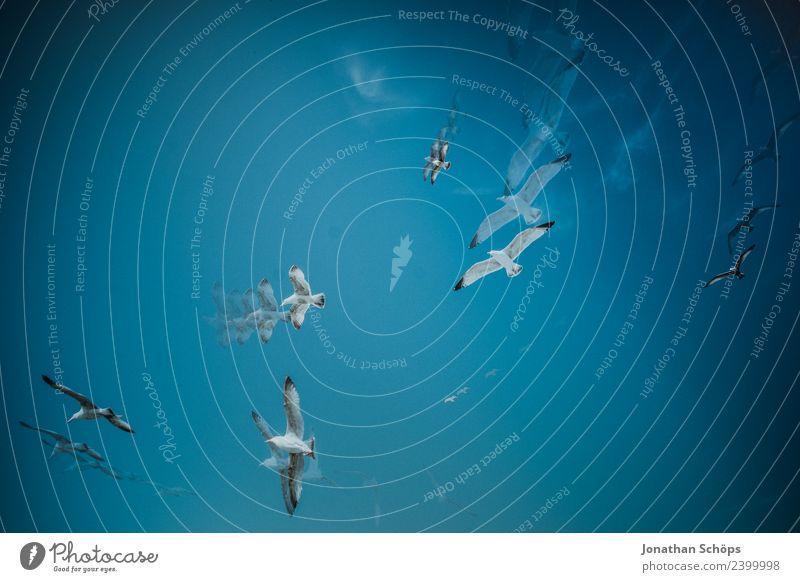 Mehrfachbelichtung Möwen kreisen am blauen Himmel Natur weiß Tier Umwelt Hintergrundbild Bewegung außergewöhnlich Freiheit fliegen paarweise Luft Schönes Wetter