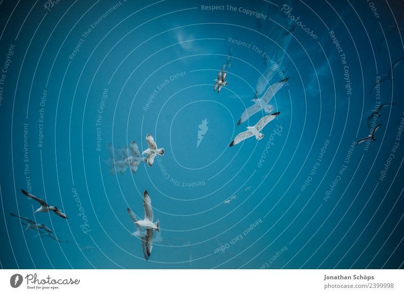 Mehrfachbelichtung Möwen kreisen am blauen Himmel Umwelt Natur Urelemente Luft nur Himmel Wolkenloser Himmel Schönes Wetter Tier Tiergruppe Schwarm