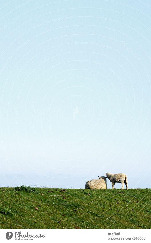 Sonntag Morgen mit Muddi am Meer Sommer Landschaft Himmel Wolkenloser Himmel Schönes Wetter Gras Küste Nordsee Deich Nutztier Schaf 2 Tier Tierjunges