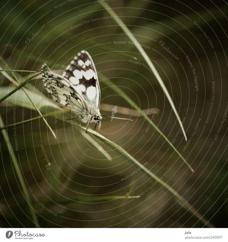 schmetterling Natur weiß grün Pflanze Tier schwarz Gras Wildtier sitzen ästhetisch Flügel Tiergesicht Schmetterling Halm