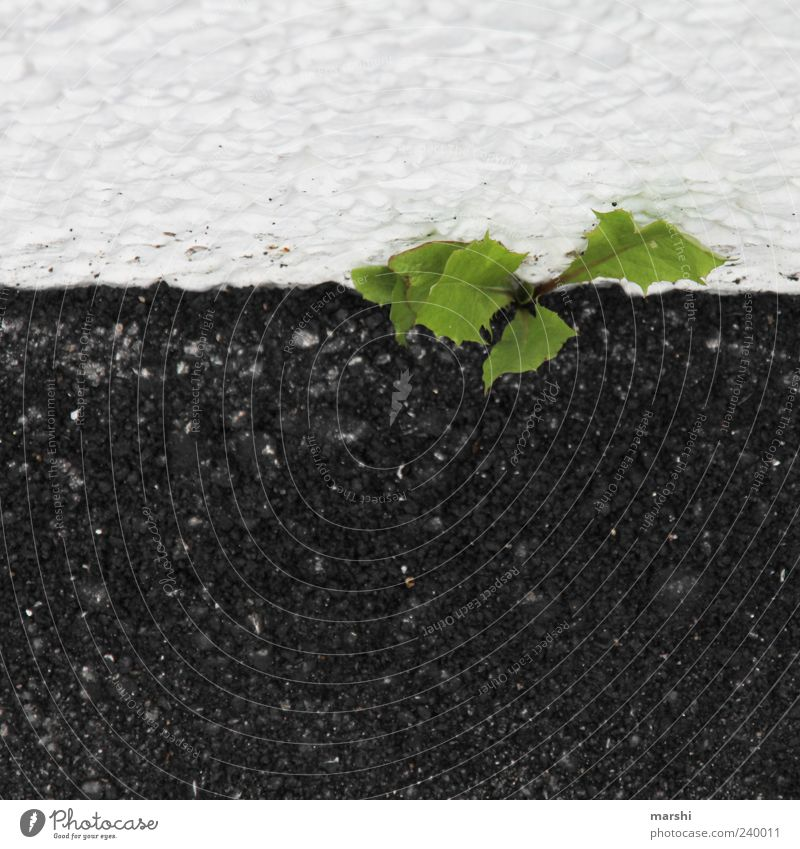 Unkraut vergeht nicht Pflanze Grünpflanze grün schwarz weiß Löwenzahn Beton Straße Farbfoto Außenaufnahme Vogelperspektive Menschenleer Wachstum
