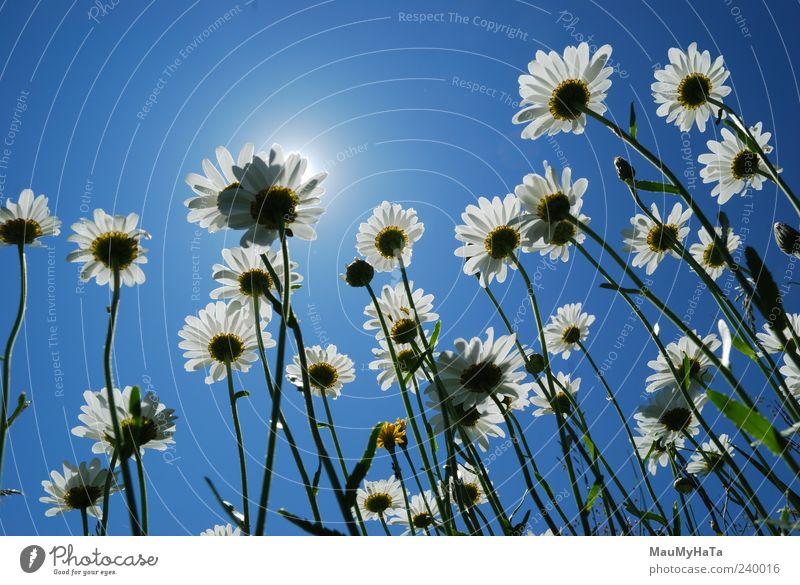 Gänseblümchen Natur Pflanze Erde Himmel Sonne Sonnenlicht Sommer Klima Schönes Wetter Baum Blume Gras Blatt Blüte Garten Park Berge u. Gebirge Burg oder Schloss