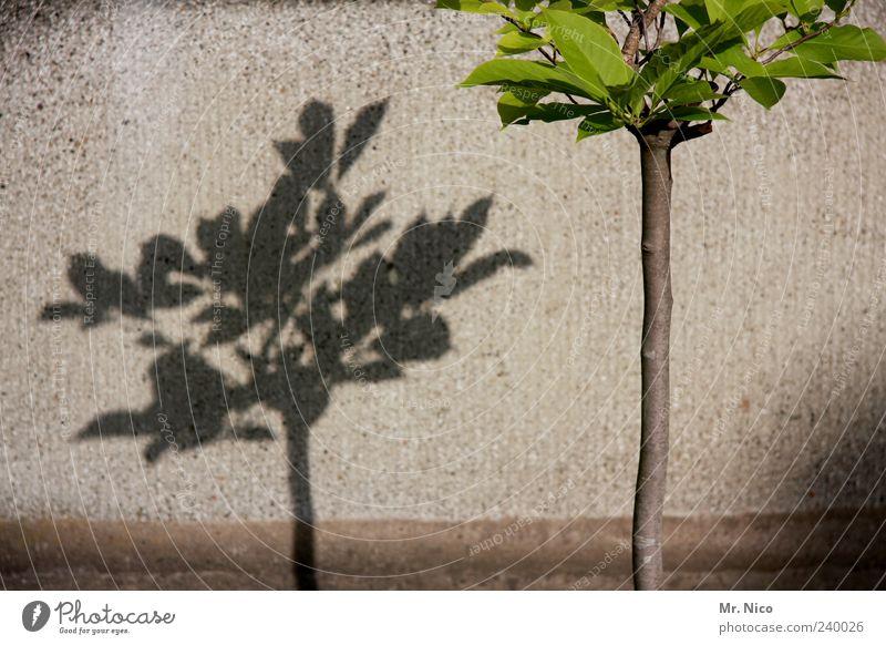 unsere stadt soll grüner werden Umwelt Schönes Wetter Pflanze Baum Blatt Mauer Wand Schattenspiel Wachstum grau Pflanzenteile Botanik Grüner Daumen