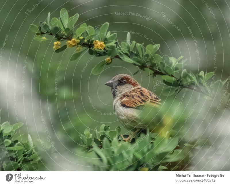 Spatz im Strauch Natur grün Sonne Tier Blatt gelb Umwelt Auge Blüte Vogel braun orange sitzen Feder Sträucher Schönes Wetter