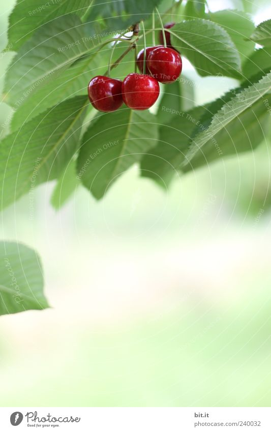 Knacker, Kracher oder... Lebensmittel Frucht Bioprodukte Kirsche Ernährung Gesundheit Gesunde Ernährung Natur Pflanze Sommer Baum Blatt hängen frisch saftig süß