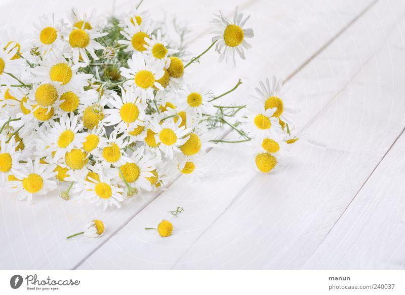 Kamille Natur weiß schön Pflanze Sommer Blume gelb Frühling Gesundheit liegen natürlich frisch authentisch einfach rein Blühend