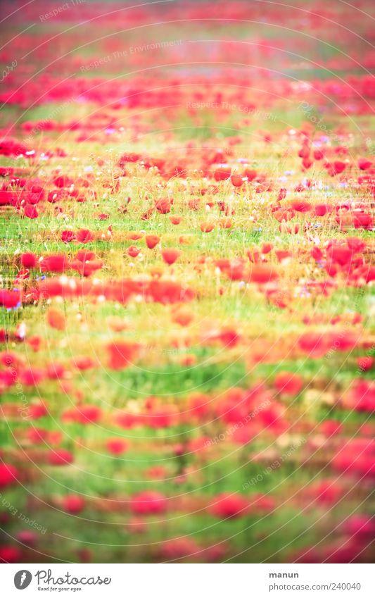 Mohnwiese Natur grün schön rot Pflanze Sommer Blume gelb Landschaft Gras Frühling außergewöhnlich modern viele fantastisch Blühend