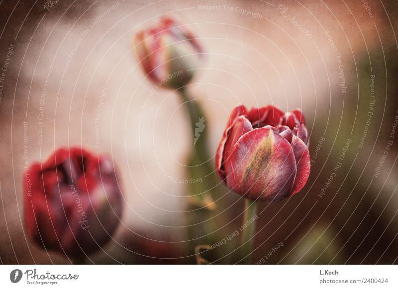 Tulpenzauber Natur Pflanze Blume rot Erholung ruhig Frühling Blüte Kunst Garten Freizeit & Hobby Park Postkarte Blumenstrauß Duft