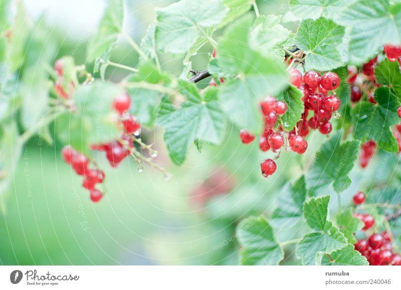 Rote Johannisbeere - Ribes rubrum Lebensmittel Frucht Ernährung Vegetarische Ernährung Gesundheit Natur Sommer Pflanze Blatt lecker Johannisbeeren