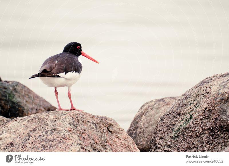Wo sind meine Kleinen? Natur weiß Meer Tier schwarz Umwelt Stein Vogel Wildtier ästhetisch stehen Urelemente beobachten Ostsee Schnabel Austernfischer