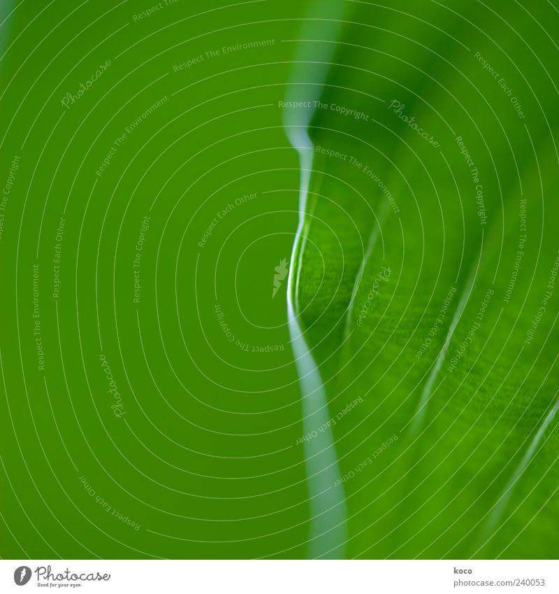 Für Lutz Natur grün schön Pflanze Blatt Farbe Linie außergewöhnlich natürlich frisch Wachstum ästhetisch Streifen einfach Symmetrie Detailaufnahme
