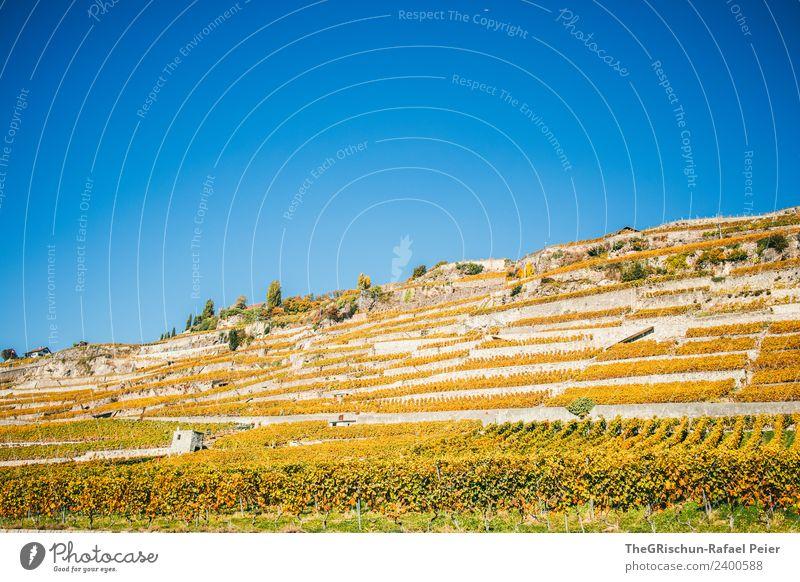 Weinberge Umwelt Natur Landschaft blau braun gelb gold grün Schweiz Weintrauben Terassenfeld Genf Herbst niedlich Farbfoto Außenaufnahme Menschenleer