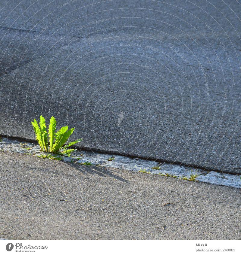Unkraut Pflanze Straße Wege & Pfade Wachstum grün Löwenzahn Bürgersteig Farbfoto mehrfarbig Außenaufnahme Menschenleer Textfreiraum oben Textfreiraum unten 1
