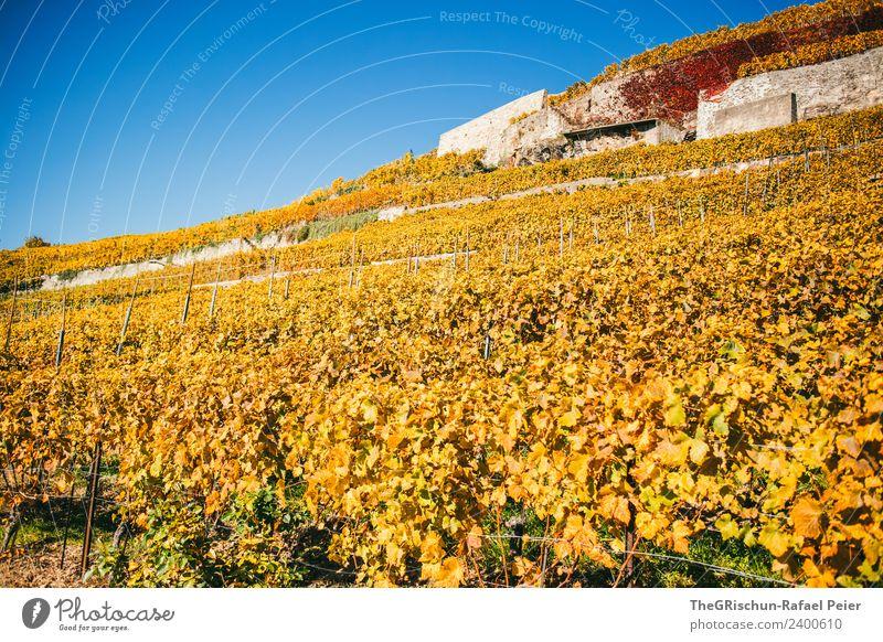 Rebberge Umwelt Natur Landschaft blau braun mehrfarbig gelb gold Wein Weinberg Weintrauben Herbst niedlich Blatt Weltkulturerbe Mauer Schweiz Farbfoto
