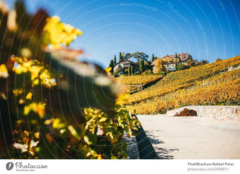 Haus in den Reben Natur Landschaft blau braun mehrfarbig gelb gold Wein Weinberg Weintrauben Idylle Blatt Straße Wege & Pfade Blauer Himmel Herbst Schweiz