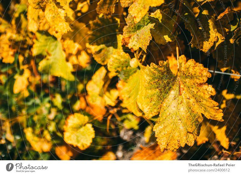 Goldene Blätter Natur Landschaft Pflanze braun gelb gold Blatt Weintrauben niedlich Herbst mehrfarbig Strukturen & Formen Wachstum Farbfoto Außenaufnahme