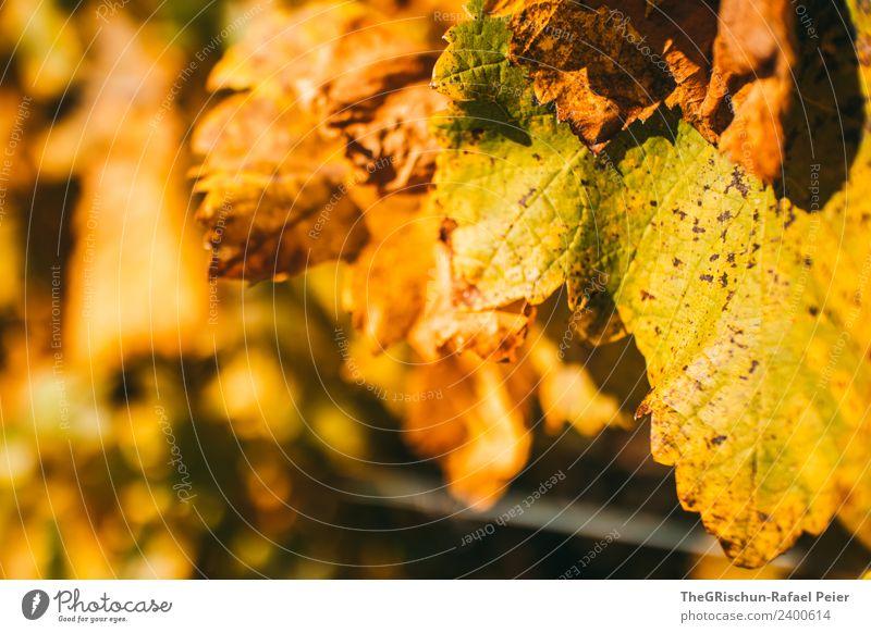 Blatt Umwelt Natur Pflanze braun gelb gold Detailaufnahme welk Wein Weintrauben Herbst Makroaufnahme Farbfoto Außenaufnahme Textfreiraum links Tag Abend