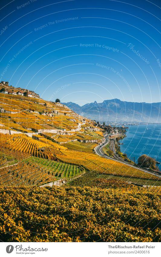 Weinberge Natur Landschaft blau gelb gold grün Weintrauben Ernte Herbst Lac Lèmon Schweiz Berge u. Gebirge See Wasser Berghang Weltkulturerbe Pflanze Farbfoto