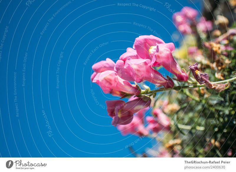 Blume Natur Pflanze blau rosa Blühend Blüte Wachstum Schwache Tiefenschärfe Detailaufnahme Farbfoto Außenaufnahme Makroaufnahme Textfreiraum links Tag