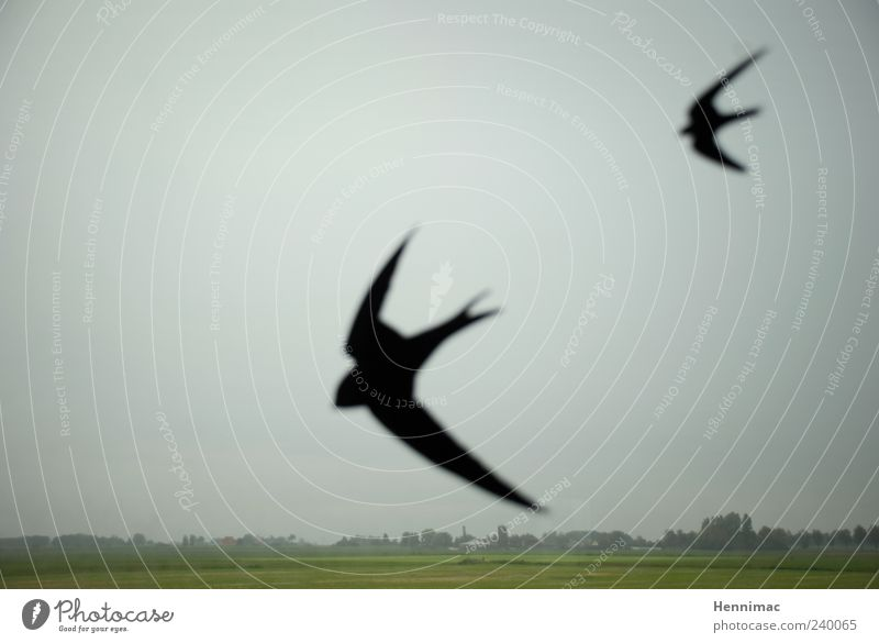 Das Vogelgrauen. Himmel grün Tier schwarz Landschaft 2 Horizont Regen Feld Nebel Flügel Etikett schlechtes Wetter Ebene