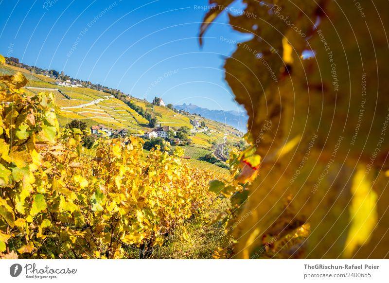 Herbst im Weinberg Natur Landschaft blau braun gelb gold grün orange Weinlese Pflanze Weintrauben Wege & Pfade Haus Farbfoto Außenaufnahme Menschenleer