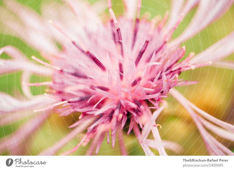 Blume Pflanze grün violett rosa Makroaufnahme Detailaufnahme Stempel Blühend Farbstoff Muster Strukturen & Formen Farbfoto Außenaufnahme Nahaufnahme