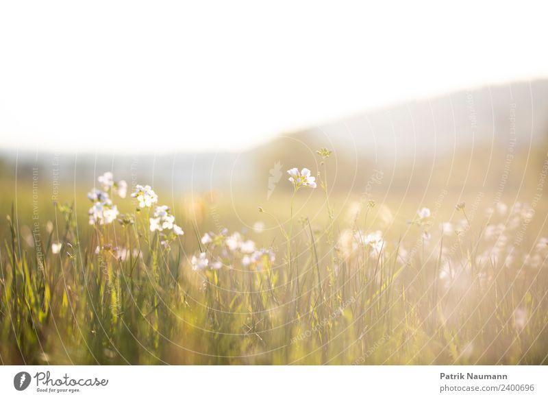 Sommertag Umwelt Natur Landschaft Pflanze Tier Wolkenloser Himmel Horizont Frühling Schönes Wetter Blüte Grünpflanze Wildpflanze Wiese hell modern Beginn