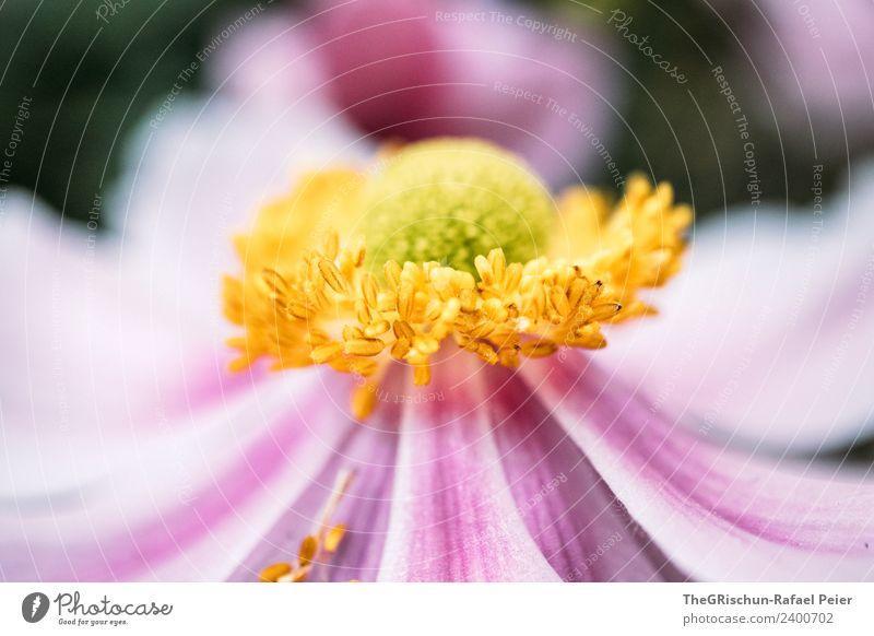 blume Pflanze gelb gold grün violett rosa Blume Blüte Strukturen & Formen Farbverlauf Detailaufnahme Makroaufnahme Schwache Tiefenschärfe Farbfoto Außenaufnahme
