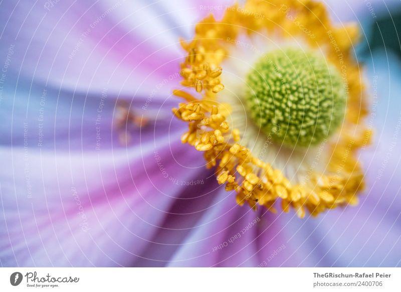 Detailaufnahme Pflanze grün Blume gelb Blüte ästhetisch Blühend rund violett Pollen Verlauf