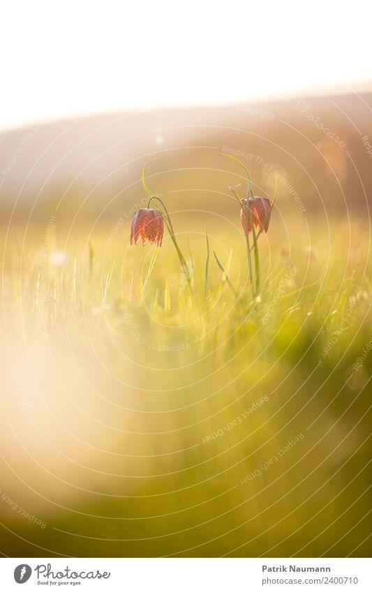 Schachblumenduo Kunst Umwelt Natur Landschaft Pflanze Tier Sonne Frühling Klima Schönes Wetter Blüte exotisch Schachbrettblume Pulsatilla vulgaris berühren