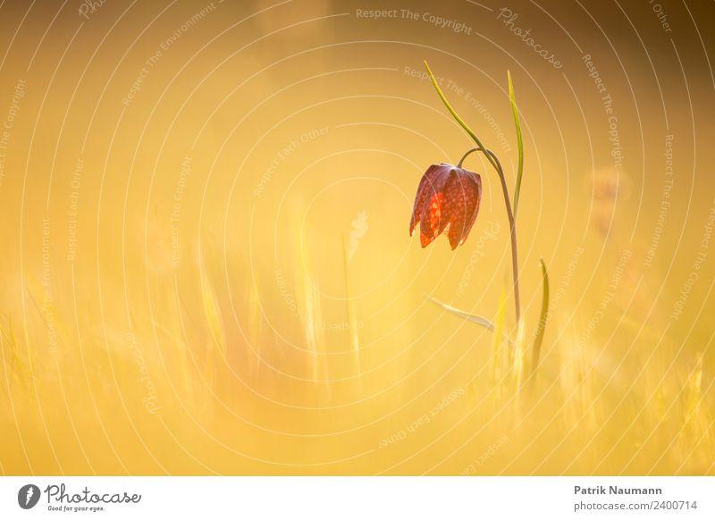 Schachblume im Sonnenmeer Natur Pflanze Erholung Einsamkeit ruhig Gesundheit Lifestyle Wärme Leben Umwelt Blüte Frühling Wiese Fröhlichkeit Lebensfreude