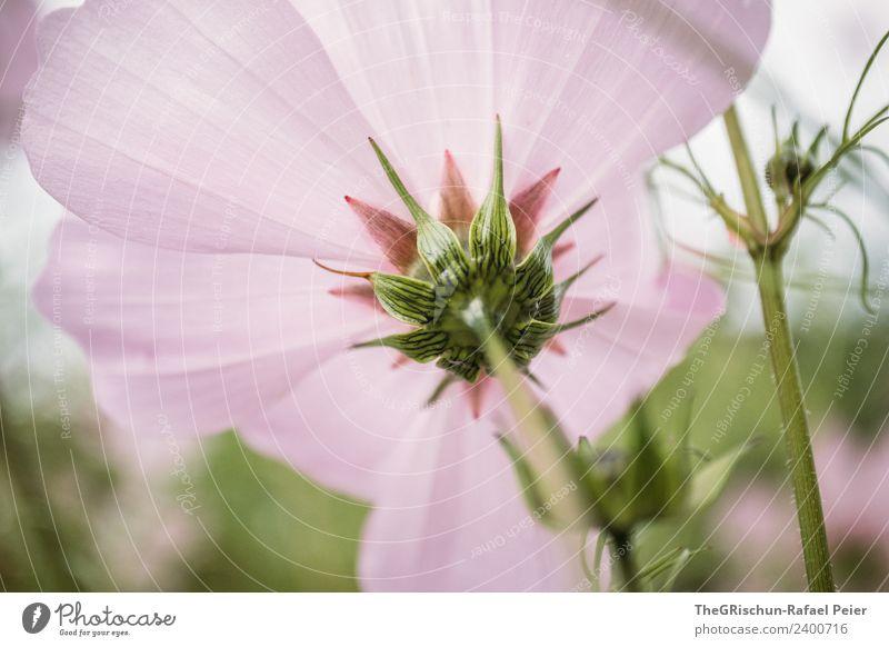 Blume Pflanze grün rosa Stengel Blüte Blühend Wachstum Farbverlauf Strukturen & Formen Farbfoto Außenaufnahme Detailaufnahme Makroaufnahme Menschenleer