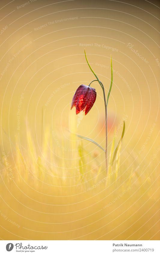 Schachblume Umwelt Natur Pflanze Frühling Sommer Klimawandel Schönes Wetter Wärme Wildpflanze exotisch Schachbrettblume Wiese Feld berühren Blühend Erholung