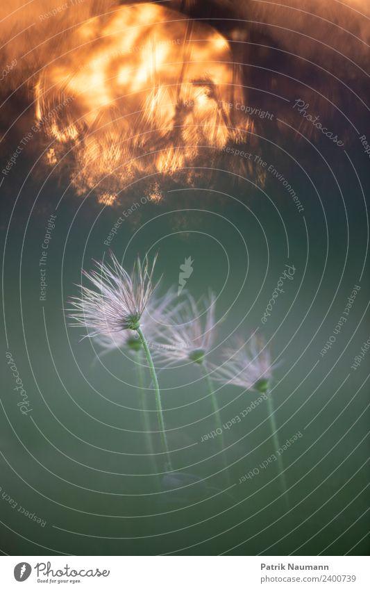 Vergänglich Sommer Natur Pflanze Tier Klimawandel Blüte exotisch Kuhschelle alt berühren Blühend dehydrieren Wachstum ästhetisch schön Kitsch natürlich