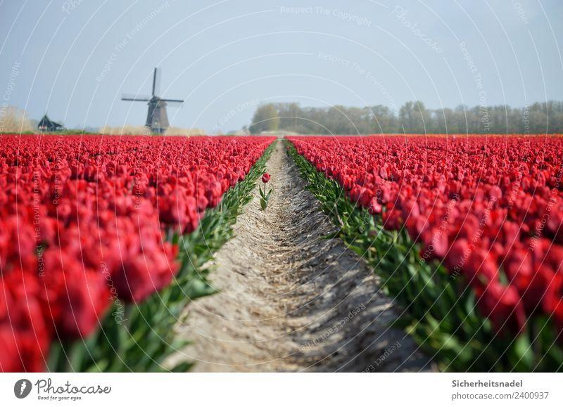 Tulpenfeld mit Windmühle Natur Pflanze Frühling Blume Blüte Feld rot Windrad Romantik Verliebt Farbfoto Außenaufnahme Tag