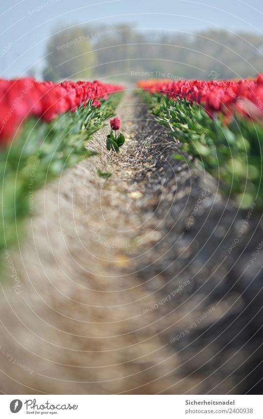 Aus der Reihe tanzende Tulpe Natur Pflanze Frühling Schönes Wetter Blume Feld Tanzen Tulpenfeld Windmühle Windrad rot Einsamkeit Niederlande Teleobjektiv