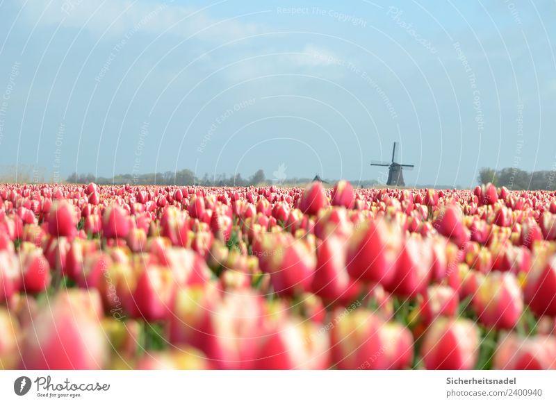 Tulpenfeld Pflanze Frühling Schönes Wetter Blume Blüte Feld rot Windrad Windmühle Blumenwiese Niederlande Holland Außenaufnahme Textfreiraum oben Tag