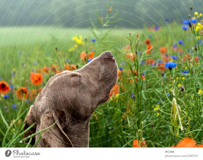 Ein Hundeleben. schön Sommer Blume Tier Leben Gras ästhetisch genießen Mohn Wohlgefühl Duft Haustier Gesichtsausdruck Wildpflanze Kornblume