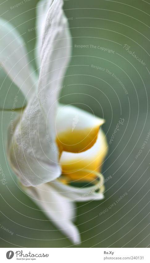 Weiße Orchidee Natur blau weiß grün Pflanze Blume Blatt gelb Blüte groß Wachstum Blühend zart exotisch Blütenknospen