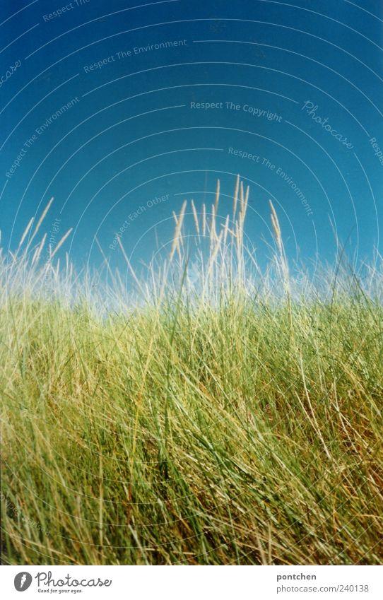Englische Gräser Himmel Natur blau grün Umwelt Gras Wolkenloser Himmel Grünpflanze