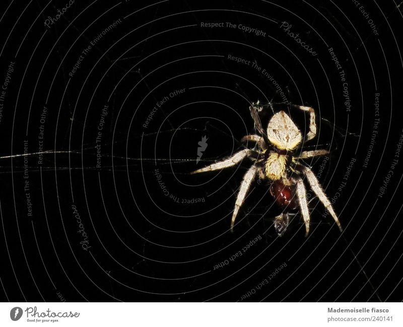 Abendessen Natur schwarz Tier braun groß nah bedrohlich fangen gruselig festhalten Fressen Spinne