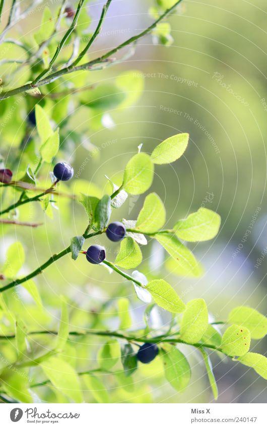 Blaubeeren aus dem Schwarzwald blau grün Pflanze Sommer Blatt klein Frucht frisch Wachstum Sträucher rund lecker Beeren saftig sauer Zweige u. Äste