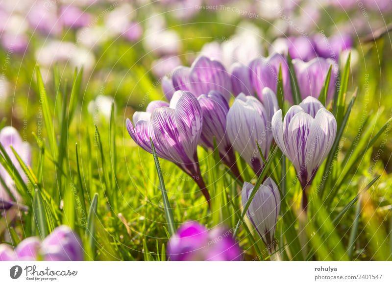 viele Krokusblüten auf grüner Wiese bei Sonnenschein schön Natur Landschaft Pflanze Sonnenlicht Frühling Blume Gras Blüte Wildpflanze Park Wachstum wild
