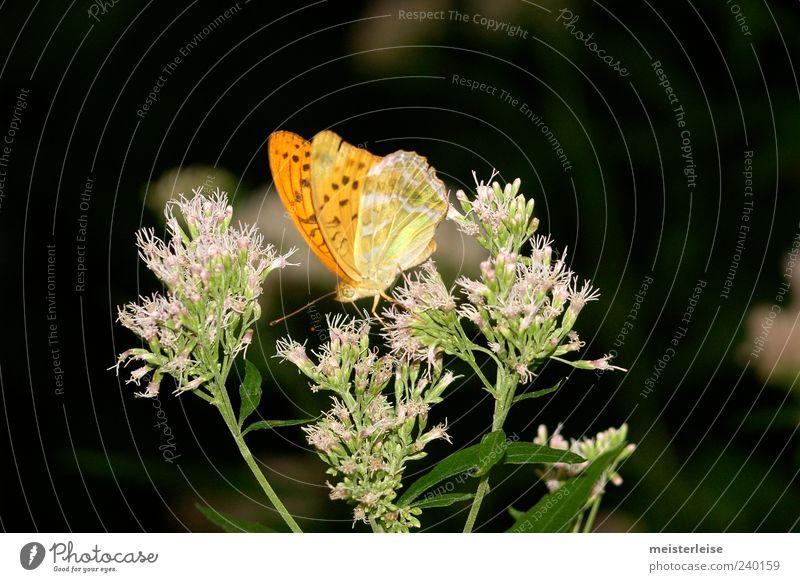 Schmetter Ling Tier Schmetterling 1 Fressen ruhig Farbfoto Außenaufnahme Nahaufnahme Detailaufnahme Makroaufnahme Tag Kontrast Sonnenlicht Unschärfe