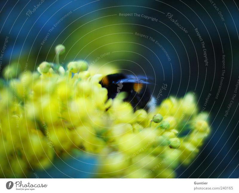 drunken bumblebee blau grün Pflanze Blume Tier schwarz gelb Blüte Wildtier Flügel Insekt Fressen Blütenknospen Pollen Hummel Nahrungssuche