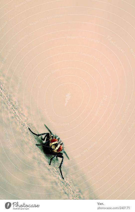 Puck Tier Fliege 1 rosa rot Insekt Farbfoto Gedeckte Farben Außenaufnahme Nahaufnahme Textfreiraum rechts Textfreiraum oben Hintergrund neutral Tag