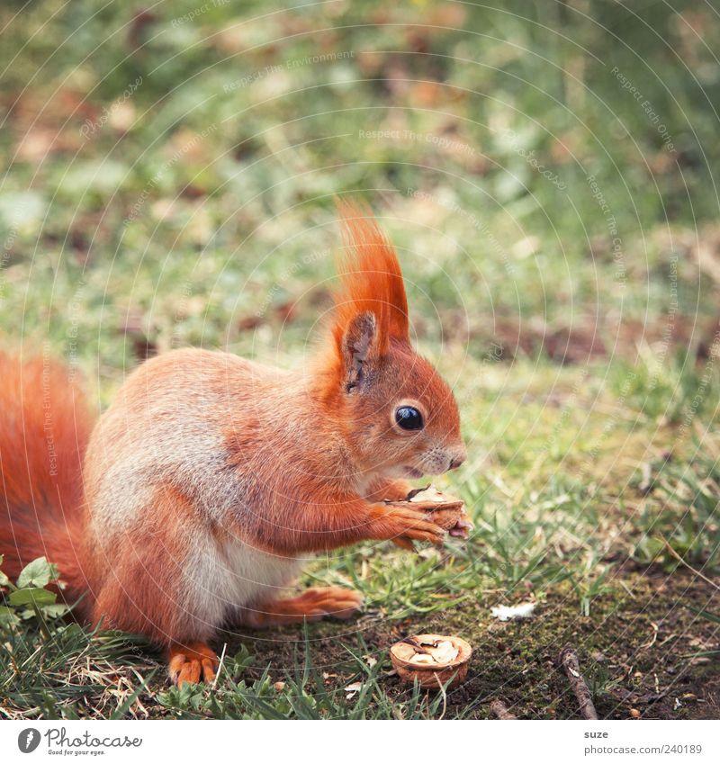 Frühstück Umwelt Natur Pflanze Tier Gras Wiese Fell Wildtier Fressen füttern niedlich schön Tierliebe Nuss Walnuss Eichhörnchen Nagetiere Farbfoto